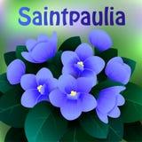 La primavera hermosa florece Saintpaulia tarjetas o su diseño con el espacio para el texto Vector Fotografía de archivo libre de regalías