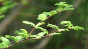 La primavera joven se va en la extremidad de la rama del árbol de Dawn Redwood en el viento suave, 4K almacen de metraje de vídeo