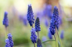 La primavera ornamental del armeniacum del Muscari florece, planta azul floreciente en el jardín imagenes de archivo