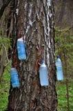 La primavera raccoglie la betulla sap_2 fotografia stock