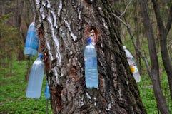 La primavera raccoglie la betulla sap_3 fotografia stock libera da diritti