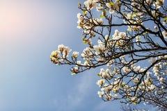 La primavera rosada hermosa florece la magnolia en una rama de árbol Fotografía de archivo libre de regalías