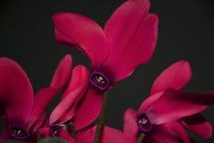 La primavera rossa molto piacevole fiorisce a gennaio Fotografie Stock Libere da Diritti