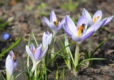 La primavera salvaje del bosque florece las flores púrpuras del azafrán con las abejas de la miel Imagen de archivo