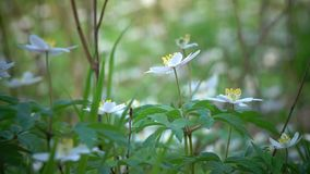 La primavera salvaje florece - descensos de la nieve en día soleado de la primavera almacen de video