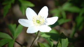 La primavera salvaje florece - descensos de la nieve en día soleado de la primavera almacen de metraje de vídeo