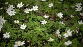 La primavera salvaje florece - descensos de la nieve en día soleado de la primavera metrajes