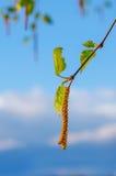 La primavera sboccia betulla dell'albero con le giovani foglie verdi Fotografia Stock Libera da Diritti