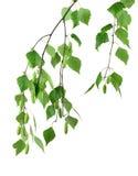 La primavera sboccia betulla dell'albero con le giovani foglie verdi /isolated/ Immagini Stock Libere da Diritti
