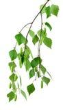 La primavera sboccia betulla dell'albero con le giovani foglie verdi /isolated/ Immagine Stock Libera da Diritti