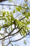 La primavera sboccia noci dell'albero con le giovani foglie verdi sugli ambiti di provenienza del cielo blu, Immagine Stock Libera da Diritti