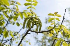 La primavera sboccia noci dell'albero con le giovani foglie verdi sugli ambiti di provenienza del cielo blu, Immagini Stock