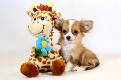 La primavera spera - il cucciolo rosso della chihuahua con la giraffa molle del giocattolo Immagini Stock Libere da Diritti