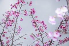 La primavera sta venendo, fiori di ciliegia sta fiorendo Fotografie Stock