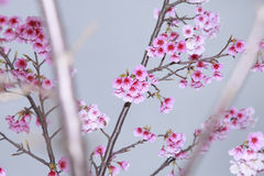 La primavera sta venendo, fiori di ciliegia sta fiorendo Immagini Stock