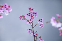 La primavera sta venendo, fiori di ciliegia sta fiorendo Fotografia Stock