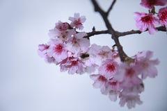 La primavera sta venendo, fiori di ciliegia sta fiorendo Immagine Stock
