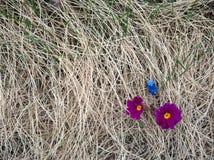 La primavera temprana florece el brote a través de hierba del ` s del año pasado Imagen de archivo