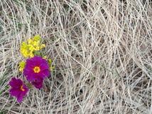 La primavera temprana florece el brote a través de hierba del ` s del año pasado Imagenes de archivo