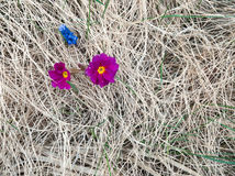 La primavera temprana florece el brote a través de hierba del ` s del año pasado Fotografía de archivo libre de regalías