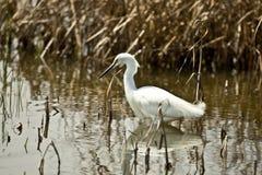 Egret nevado Imagen de archivo