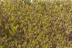 La primavera verde lascia il fondo Vista orizzontale di ecologia fotografie stock