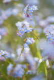 La primavera vibrante de la nomeolvides florece con la profundidad del campo baja Imágenes de archivo libres de regalías