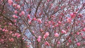 La primavera viene - poco flor abierta del ciruelo de Rose en Busán, Corea del Sur, Asia almacen de metraje de vídeo