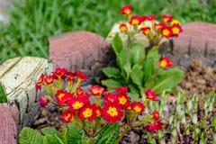 La primaverina rossa, balza bello fiore odorante, struttura immagini stock