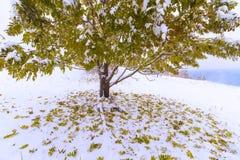 La primera caída de la nieve Hojas del abedul amarillo en la nieve Foto de archivo