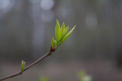 La primera hoja de la primavera, naturaleza viene a la vida Imagen de archivo