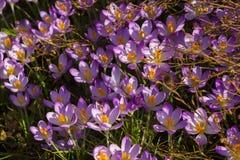 La primera muestra de la primavera anunciada a mediados de febrero por estas azafranes florecientes tempranas en un jardín britán fotografía de archivo libre de regalías