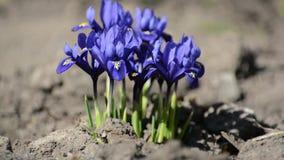 La primera primavera de las azafranes azules florece en el bosque almacen de metraje de vídeo