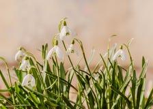 La primera primavera florece, los snowdrops, un símbolo del awakenin de la naturaleza Imágenes de archivo libres de regalías