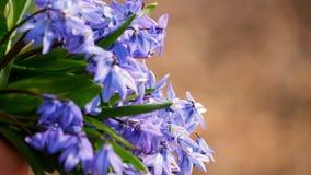 La primera primavera florece snowdrops azules en el bosque Flores hermosas de la primavera en el salvaje almacen de video