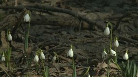 La primera primavera florece snowdrops en el bosque almacen de metraje de vídeo