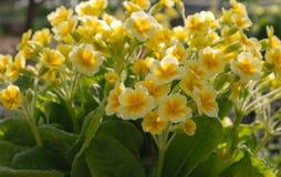 La primevère jaune de floraison Fleurs de jardin de ressort photographie stock