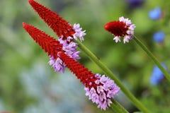 La primevère Vialii de primevère d'orchidées a de belles fleurs rouge-roses Photographie stock libre de droits