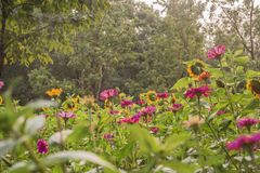 La priorità alta è i precedenti del fiore del girasole è l'albero verde fotografie stock libere da diritti