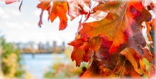 La priorità alta della foglia della quercia rossa, città di Ottawa ha offuscato il fondo Immagine Stock Libera da Diritti