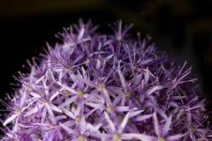 la priorità bassa alternata dell'allium ha chiuso la creazione della porpora aperta del reticolo delle teste verdi del fiore Stru Immagine Stock