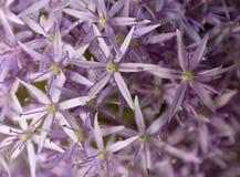 la priorità bassa alternata dell'allium ha chiuso la creazione della porpora aperta del reticolo delle teste verdi del fiore Stru Fotografia Stock