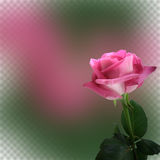 La priorità bassa astratta con il colore rosa è aumentato per il disegno Fotografie Stock