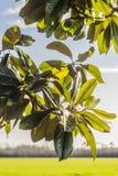 la priorità bassa lascia la natura della magnolia Immagini Stock