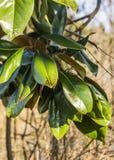 la priorità bassa lascia la natura della magnolia Fotografie Stock