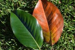 la priorità bassa lascia la natura della magnolia fotografia stock libera da diritti