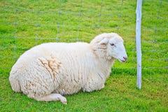 la profondità eyes le pecore poco profonde del ritratto del fuoco del campo Fotografia Stock Libera da Diritti