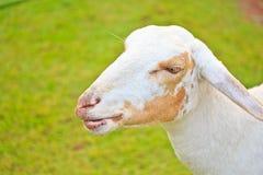 la profondità eyes le pecore poco profonde del ritratto del fuoco del campo Fotografia Stock