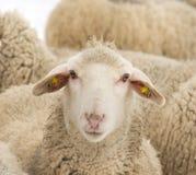 la profondità eyes le pecore poco profonde del ritratto del fuoco del campo Immagini Stock Libere da Diritti