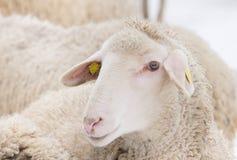 la profondità eyes le pecore poco profonde del ritratto del fuoco del campo Immagine Stock